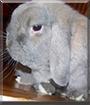 Bob the Holland Lop Rabbit