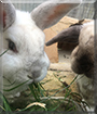 Mopsy and Fluffy the Netherland Dwarf, American Sable mix Rabbits