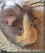 Arnold the Guinea Pig