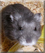 Luxray the Russian Dwarf Hamster
