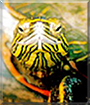 Wiley the Painted Turtle