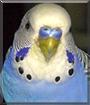 Mr. Bird the Budgerigar