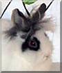 Simba the Lionhead Rabbit