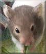 Hazel the Syrian Hamster