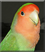 Junior the Peach-faced Lovebird