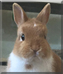 Scully the Netherland Dwarf Rabbit