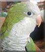 Pickles the Quaker Parrot