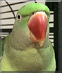 Bundii the Alexandrine Parrot