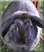 Willow the Dwarf Lop Rabbit