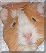 Karamell the Guinea Pig
