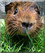 Yasha the Guinea Pig