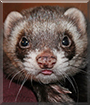 Sammy the Polecat