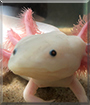 Beerus the Axolotl