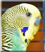 Jimmy the Budgerigar