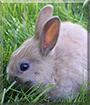 Pünktchen the Dwarf Rabbit