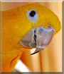 Franklin the Golden Conure