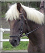 Masse the Draft/Warmblood Horse cross