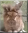 Henry the Lionhead Rabbit