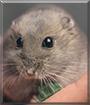 Boris the Dwarf Hamster
