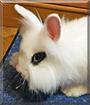 Mochi the Dwarf Rabbit mix