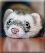 Cookie the Ferret