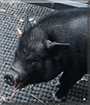Amy Swinehouse the Vietnamese Potbellied Pig