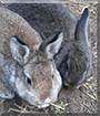 Seppel and Caillo the Rabbits