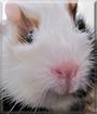 Balou the Guinea Pig