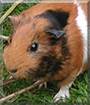 Scampi the Guinea Pig