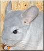 Asterix the Chinchilla