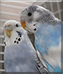 Sissi and Rocky the Budgerigars