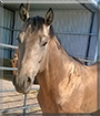 Spirit the Quarter Horse