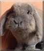 Dragibus the Lop Rabbit