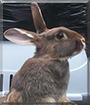 Bambi the Chocolate Otter Rabbit
