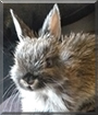 Chichi the Netherland Dwarf Rabbit