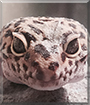 Coco the Leopard Gecko