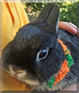 Onyx the Netherland Dwarf Rabbit