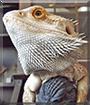 Gojira the Bearded Dragon