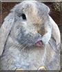 Nibbs the Dwarf Lop Rabbit