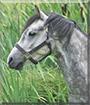 Thunder the Welsh Mountain Pony