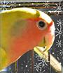 Foof the Peachfaced Lovebird
