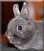 Misaki the American Polish Rabbit