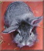 Leo the Lionhead, Chinchilla mix Rabbit