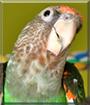Léa the Grey-headed Parrot