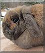 Niomi the Holland Lop Rabbit