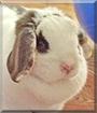 Lola the Miniature Holland Lop Rabbit
