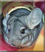Blueberry the Chinchilla