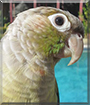 May the Green-cheek Parrot