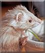 Ivory the Ferret