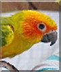 Tangalina the Sun Conure